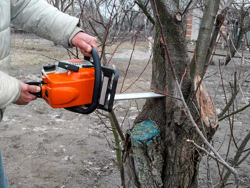 Man Cutting off Branches of a Diseased Tree with Chainsaw in a Garden