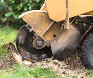 Man Operating Powerful Grinder to Remove a Tree Stump
