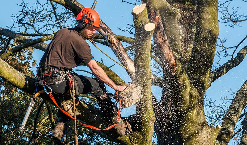 Tree Surgeon in the Crown of a Tree Using a Chainsaw to Cut Branches Down