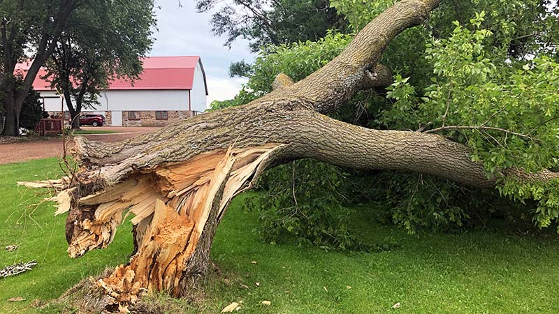 Ash Tree with Broken Trunk at the Stump—JNE Tree Services