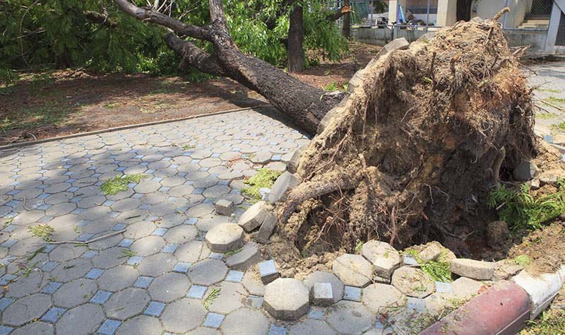 Fallen Tree Damaged on Walking Way due to Weak Root System